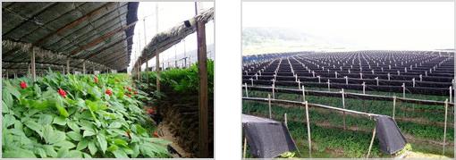 jingseang plantation